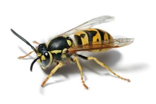 live bee